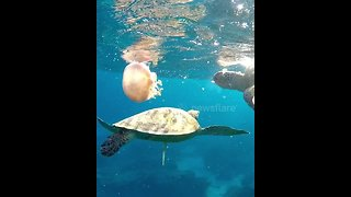 Turtles chow down on large jellyfish - Video