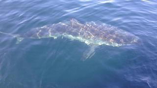 Huge Shark Circles Boat Off Massachusetts - Video
