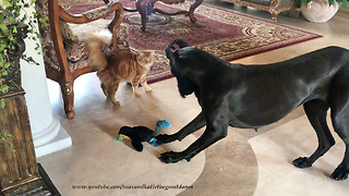 Cat Watches Playful Great Dane Play With Squeaky Toy