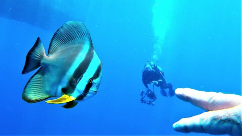 Beautiful and curious fish are very fascinated with scuba diver's fingers
