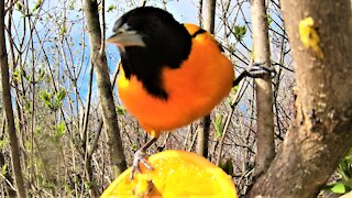 World's simplest feeder attracts truly beautiful bird