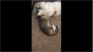 Overly-affectionate cat wins heart of every dog she meets