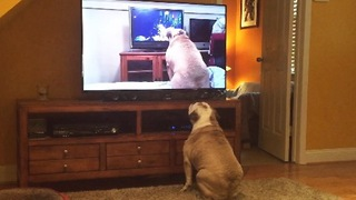 Bulldog Watches Viral Video Of Herself, Her Reaction Left Us Speechless! - Video