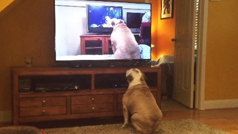 Bulldog Watches Viral Video Of Herself, Her Reaction Left Us Speechless!