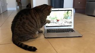 Cat attempts to catch birds seen on laptop
