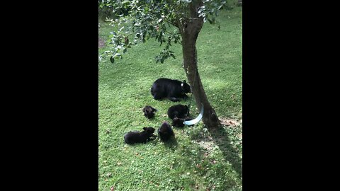 Bear and Cubs Fill Up on Fallen Apples