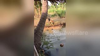 Clever puppy picks coconuts from pond and puts them in a pile - Video