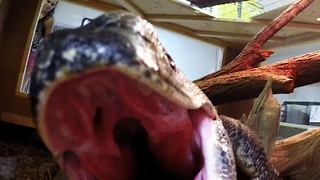 Curious giant lizard tries to eat GoPro camera - Video