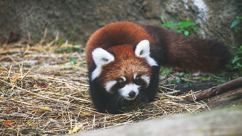 Cute Red Panda Cubs Go Exploring: ZooBorns