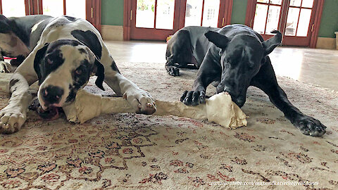 Funny Great Dane Bone Chewing and Pawing Sound Effects