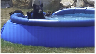 This Mama Bear Took Her Cubs For A Pool Swim