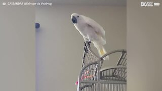 Cockatoo perfectly mimics barking dog