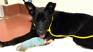 Homeless man gives up injured dog to the shelter who makes an incredible recovery - Video