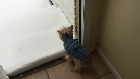Yorkie Gets Ready To Go Outside. Reaction When She Sees Snow Has Internet Dying Of Laughter