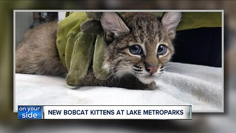 Rescued pair of adorable bobcat kittens find temporary home in Lake County