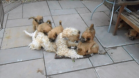 Wheaten Terrier mom plays with her adorable puppies