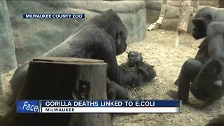 Gorilla deaths at Milwaukee County Zoo linked to E. Coli - Video