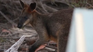 Swamp Wallaby Found on Sydney Harbour Bridge Released Back Into Wild - Video
