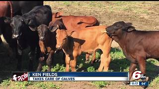 Missing calf could be wandering around Hamilton County - Video