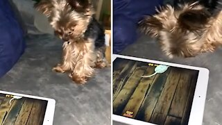 Yorkie goes for the high score on tablet game for pets