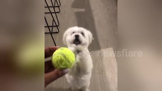Desperate dog has hilarious way of begging for toys - Video