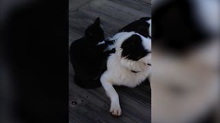 Cute Cat Massages Dog - Video