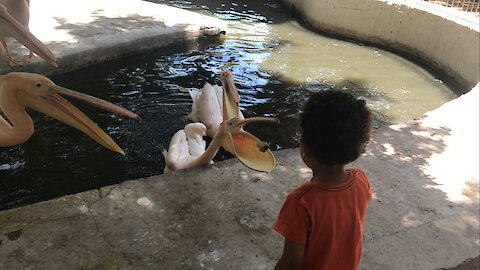 A child is afraid of Great Pink Pelican