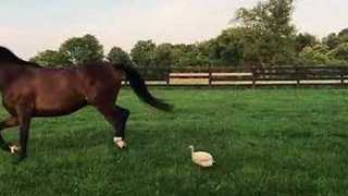 Horse Gets Chased Around by Curious Guinea Fowl