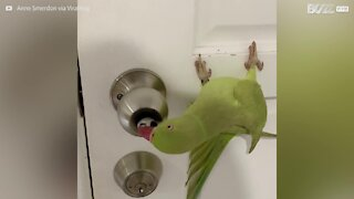 Parakeet learns to pick locks!