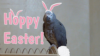 Einstein The Talking Parrot Imitates The Easter Bunny For Easter