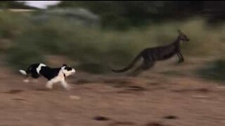 Dogs chase kangaroo in Aussie beach