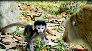 Baby Monkey Love Pig Tail Monkey And Want To Go With Her - Video