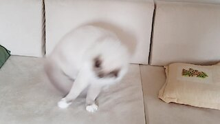 Fluffy cat chases tail like a doggy