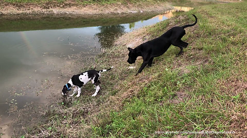 Curious Great Dane Puppy Explores the Family Pond