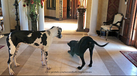 Happy Great Dane doesn't want to share her toy