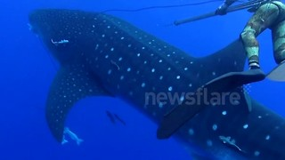 Whale shark crashes into diver