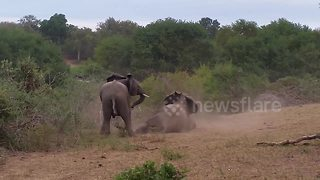 Elephant falls while trying to mate - Video