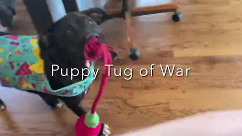 Tug of War With Puppy
