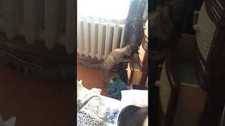 Curious Cat Inspects Bedroom Drawers - Video