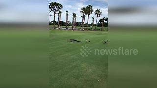 Geese Family Shows Alligator He Is Not Welcome On Their Golf Course