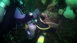 Giant Pacific Octopus Sucks Up To Scuba Diver - Video