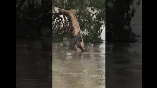 Tired Croc Climbs a Tree to Escape Townsville Floodwaters