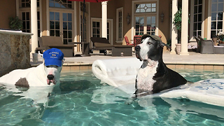 Florida Gator Football Fan Great Danes Chill Out in the Pool  - Video