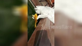 Cat tries to 'kiss' fish in pond - Video