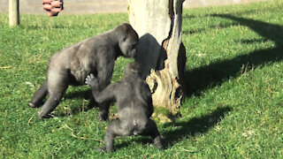 Gorillas totally spooked by something in the grass