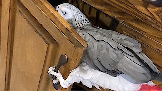 Sneaky parrot is determined to snoop in the kitchen cabinet