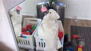 Curious Cockatoo Sees Own Reflection and Reacts Accordingly - Video