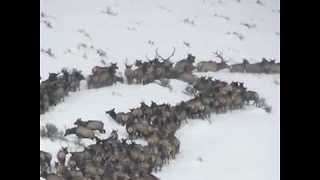 Herd of Elk Captured Migrating to New Feeding Ground - Video
