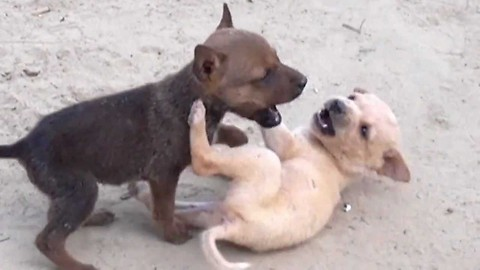 Amazing fight of two puppies