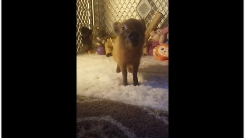 Piglet learns to give hoof on command